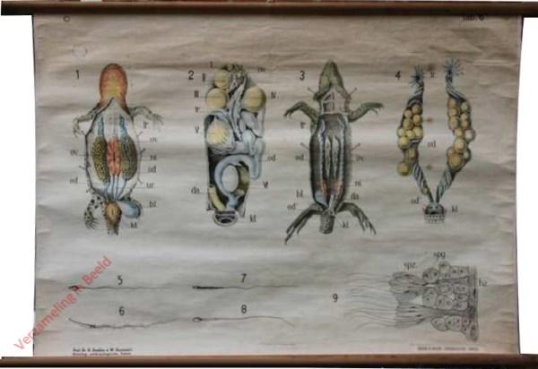 6 - [Voortplantingsorganen salamander en hagedis]