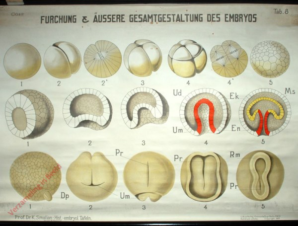 8 - Furchung & �ussere Gesamtgestaltung des Embryos