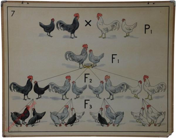 7 [1e druk] - [Kruising kippen]