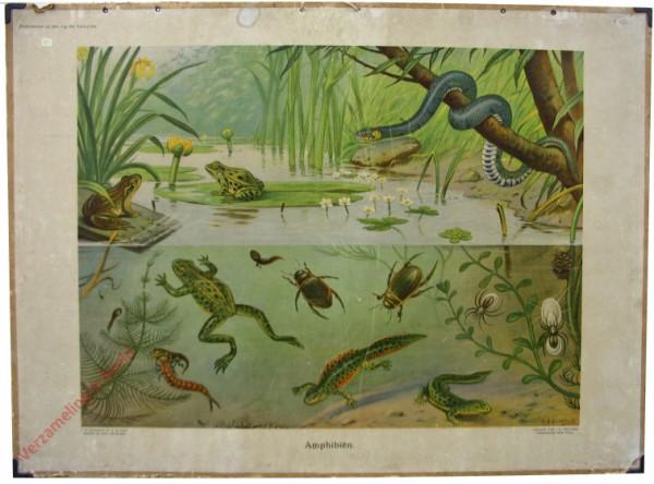 10 - Amphibien