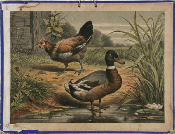 1e serie No. 12 - De Kip en de Eend [Mannetjes gewone eend op voorgrond, druk niet duidelijk]