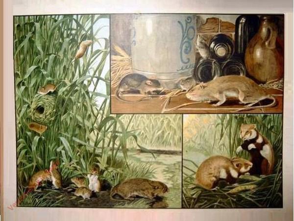 1e Serie, 1 - Schadelijke zoogdieren (knaagdieren, zooals verschillende soorten van muizen en ratten en ook de hamster)