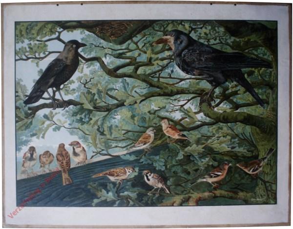 1e Serie, 2 - Vogels die soms schade doen (roek, torenkauw, huismusch, ringmusch, kneu, vink)