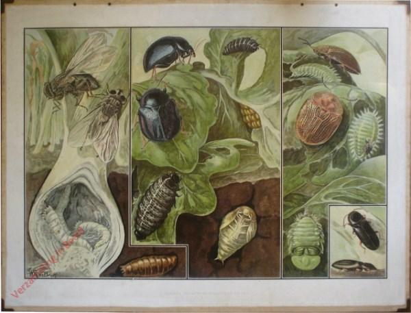 2e Serie, 9 - Vijanden van mosterd, bieten en uien (mosterdtor; uitenvlieg; bietenkevertje; schildpadtor; hunne gedaanteverwisse