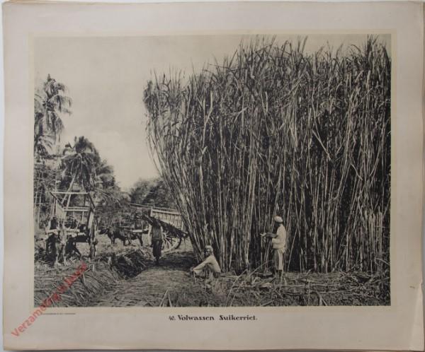 40 - Volwassen suikerriet.
