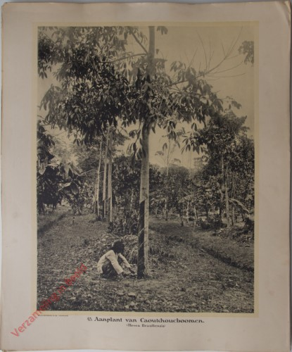 43 - Aanplant van Caoutchoucboomen. (Hevea Brasiliensis)