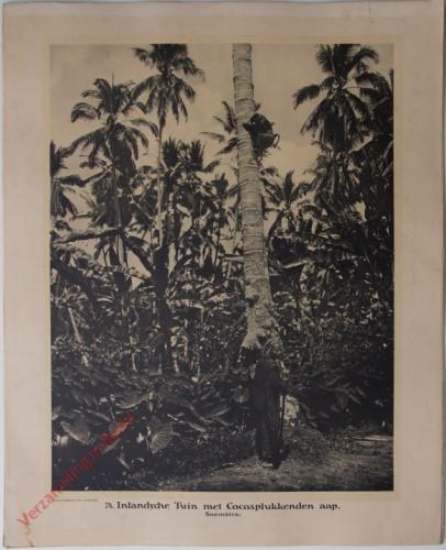 74 - Inlandsche Tuin met Cocosplukkenden aap.