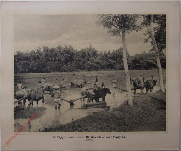 81 - Ploegen van natte Rijstvelden met Buffels. (Java)