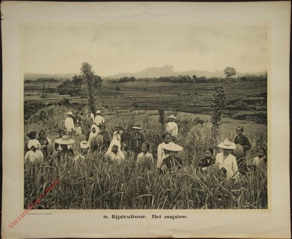 98 - Rijstcultuur. Het oogsten