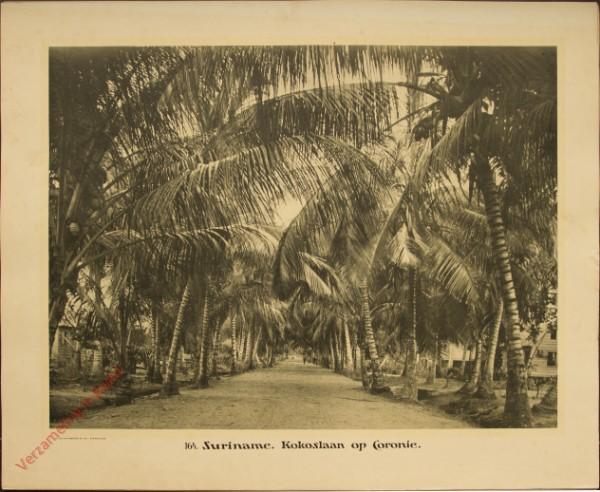 164 - Suriname. Kokoslaan op Coronie