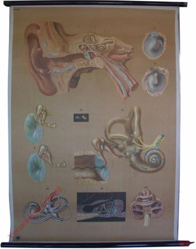 2011 - Het gehoororgaan - organum auditus
