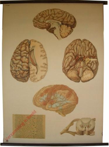 2034 - [De hersenen]