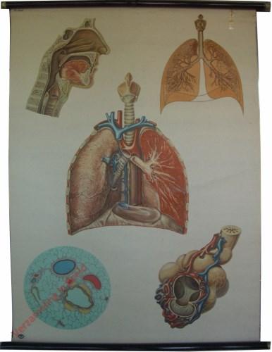 2036 - Het ademhalingstelsel