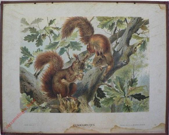 VI - Eekhoorntjes