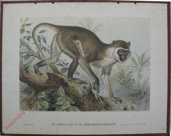 VIII - De grivet-aap of de grijs-groene meerkat