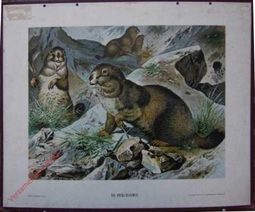 XVI - De Berg-Marmot