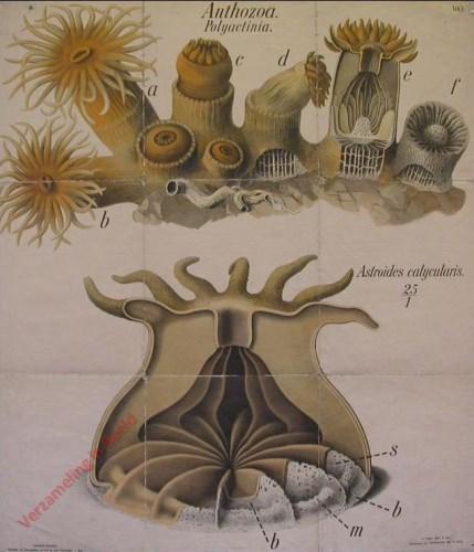 1 - Veelarmige koralen (Astroides calycularis). - Anthozoa Polyactinia