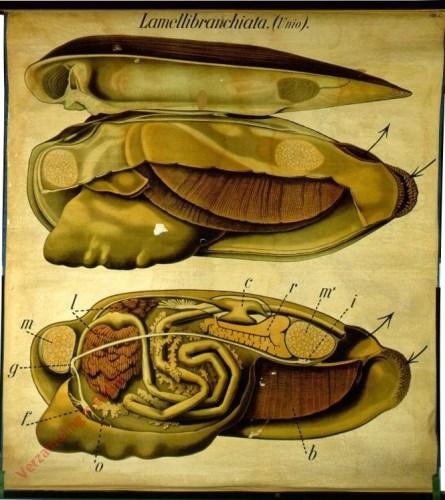2 - De zoetwatermossel (Unio pictorum). - Mollusca, Lamellibranchiata