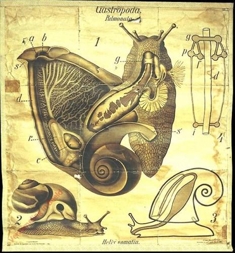 3 - De wijngaardslak (Helix pomatia). - Mollusca, Gastropoda-Pulmonata