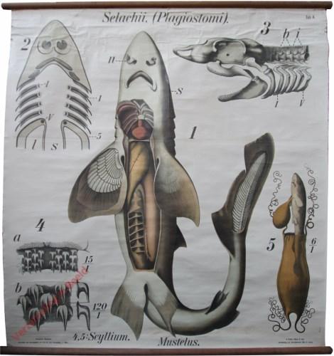 4 - De gladde haai (mustulus vulgaris). - Pisces, Selachii-Plagiostomi