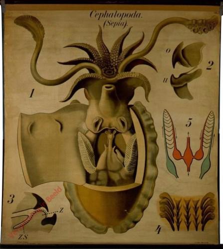 7 - De inktvisch (sepia officinalis). - Mollusca, Cephalopoda