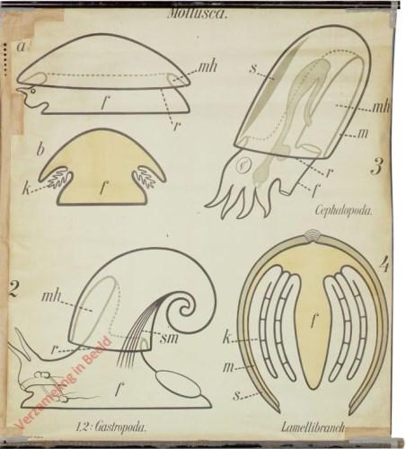 8 - Vormen van den mantel der weekdieren. - Mollusca