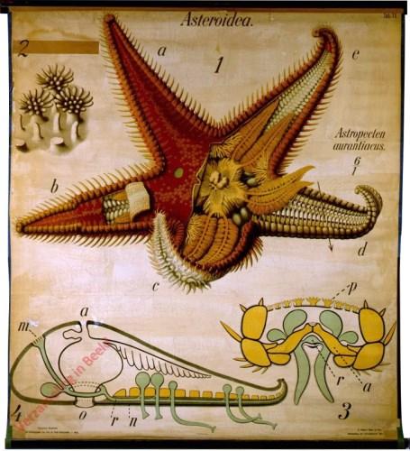 11 - De zeester (Astropecten aurantiacus). - Echinodermata, Asteroidea