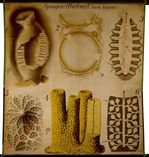 12 - Sponsen, Spongiae (Porifera) I. (Sycon, Aplysina)