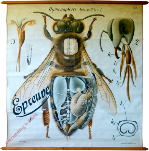 13 - De honingbij (Apis mellifica) I. - (Anatomie van de werkbij), - Insecta, Hymenoptera [proefexemplaar Franse markt]