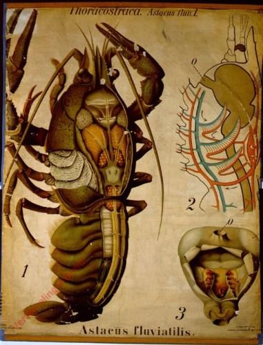 15 - De zoetwaterkreeft (Astacus fluviatilis). - Crustacea, Thoracostraca