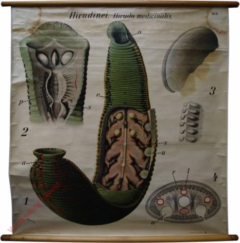 16 - De medicinale bloedzuiger (Hirudo medicinalis). - Vermes I, Hirundinea