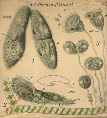 17 - Pantoffel- en klokdiertjes (Paramecium, Stylonychia, Vorticella). - Infusoria, Ciliata