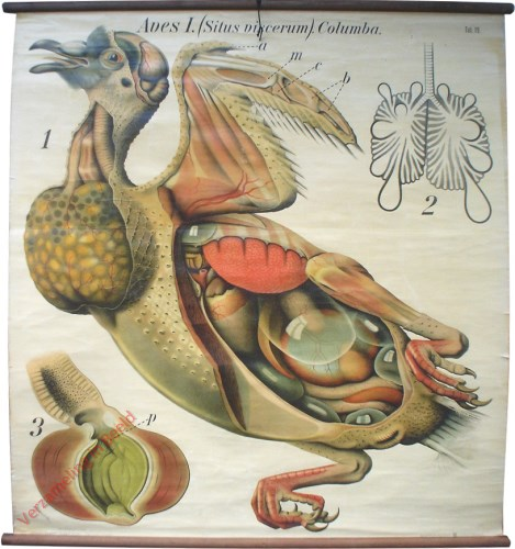 19 - De duif (Columba domestica). (Inwendige bouw). - Aves I.