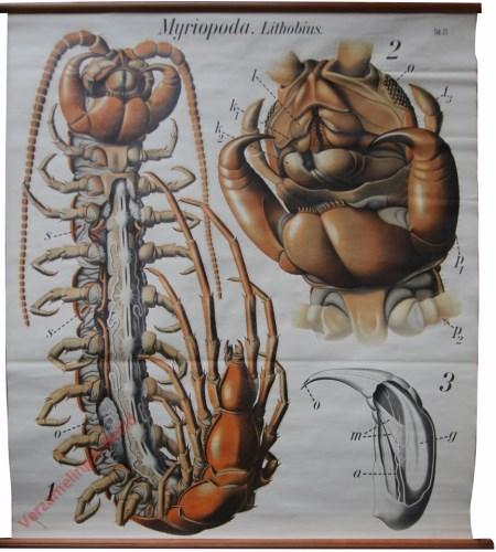 21 - De duizendpoot (Lithobius forficatus). - Myriapoda