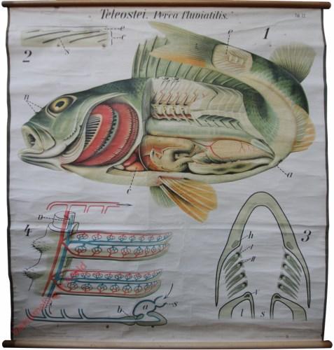 22 - De baars (Perca fluviatilis). - Posces, Teleostei