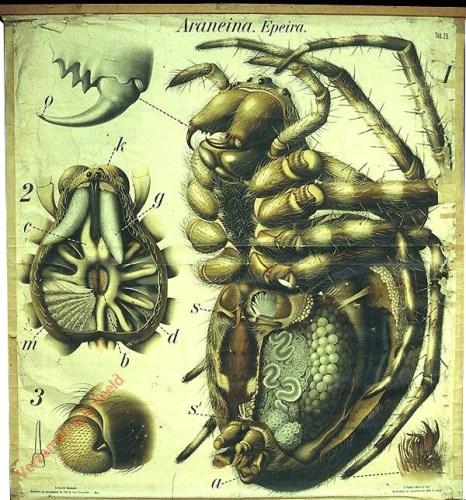 25 - De kruisspin (Epeira diadema). - Archnoidae, Araneina