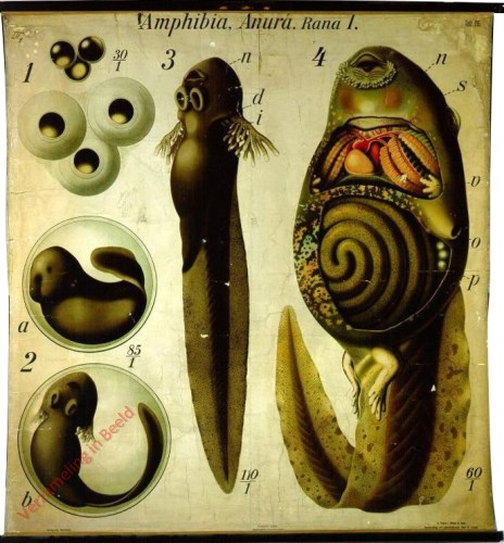 26 - De kikvorsch (Rana sp.). - (Gedaanteverwisseling). - Amphibia Anura I.
