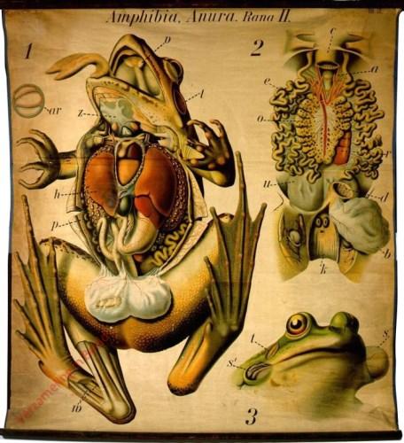 27 - De kikvorsch (Rana). - (Anatomie). - Amphibia, Anura II.