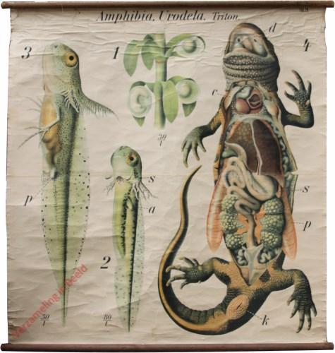 29 - De groote of gekamde zoetwatersalamander (Triton cristatus). Amphibia, Urodela