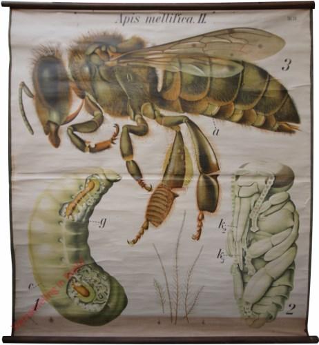 30 - De honingbij (Apis mellifica) II. - (Werkbij met larve en pop). - Insecta, Hymenoptera