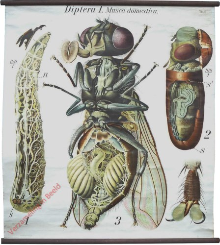 31 - De huisvlieg (Musca domestica). - Insecta, Diptera I.
