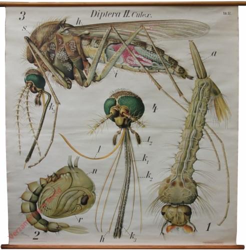 32 - De gewone mug (Culex pipiens). - Insecta, Diptera II.