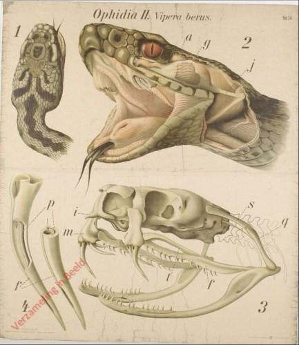 34 - De gewone adder (Vipera berus). - Reptilia, Ophidia II.