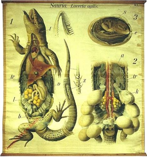 35 - De gewone hagedis (Lacerta agilis). - Reptilia, Sauria.