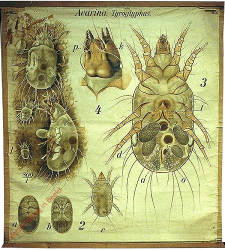 36 - De kaasmijt (Tyroglyphus sp.). - Arachnoidea, Acarina