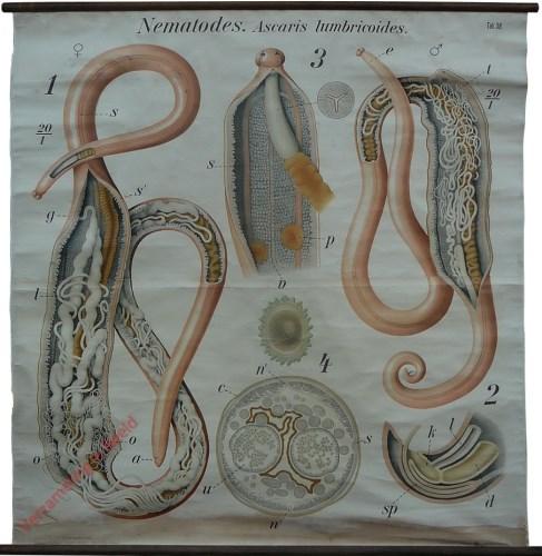 38 - De spoelworm (Ascaris lumbricoides). - Vermes III, Ascaridae.