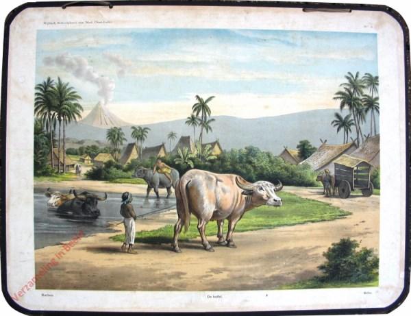 4 - Karbau - De buffel - Kebo
