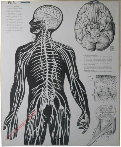 5 - Het Zenuwstelsel, a