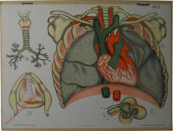 7 - Organen der borstholte, de Ademhalingsorganen en het Strottenhoofd