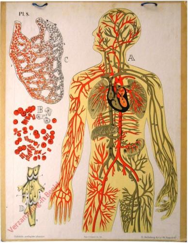 8 - Het Bloedvatenstelsel